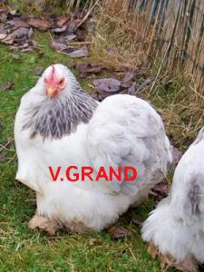blanc_hermine_bleu_V.grand2