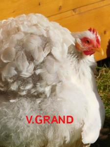 blanc_hermine_bleu_V.grand4