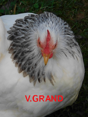blanc_hermine_noir_V.grand3