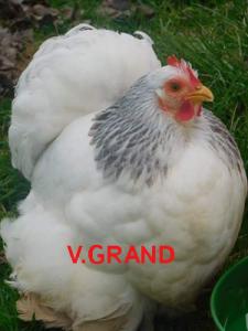 blanc_hermine_noir_V.grand4
