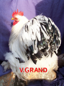 blanc_hermine_noir_v.grand1