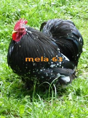 coq-pekin-coquerel-cochin_noir_cailloute