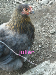 pekin-hen_bleu-a-camail_dore-1