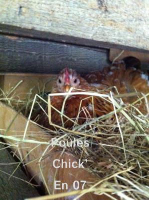 poule_ki_couve
