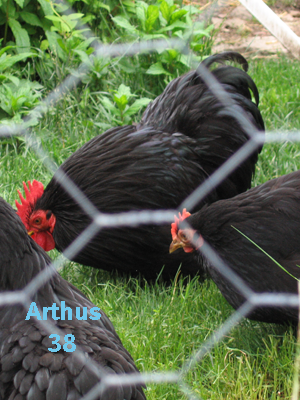 poule_ornement_pekin_noir_1 (1)