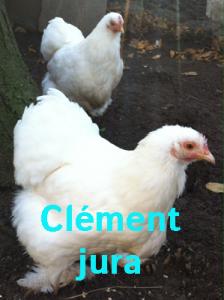 poule_pekin_blanc1