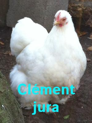 poule_pekin_blanc_2