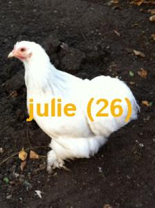 poule_pekin_hermine_gris-perle_julie1